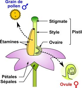 VJoly_PollenPistil_V0_Fig1